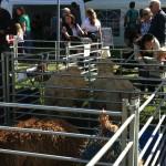 sheep in pens